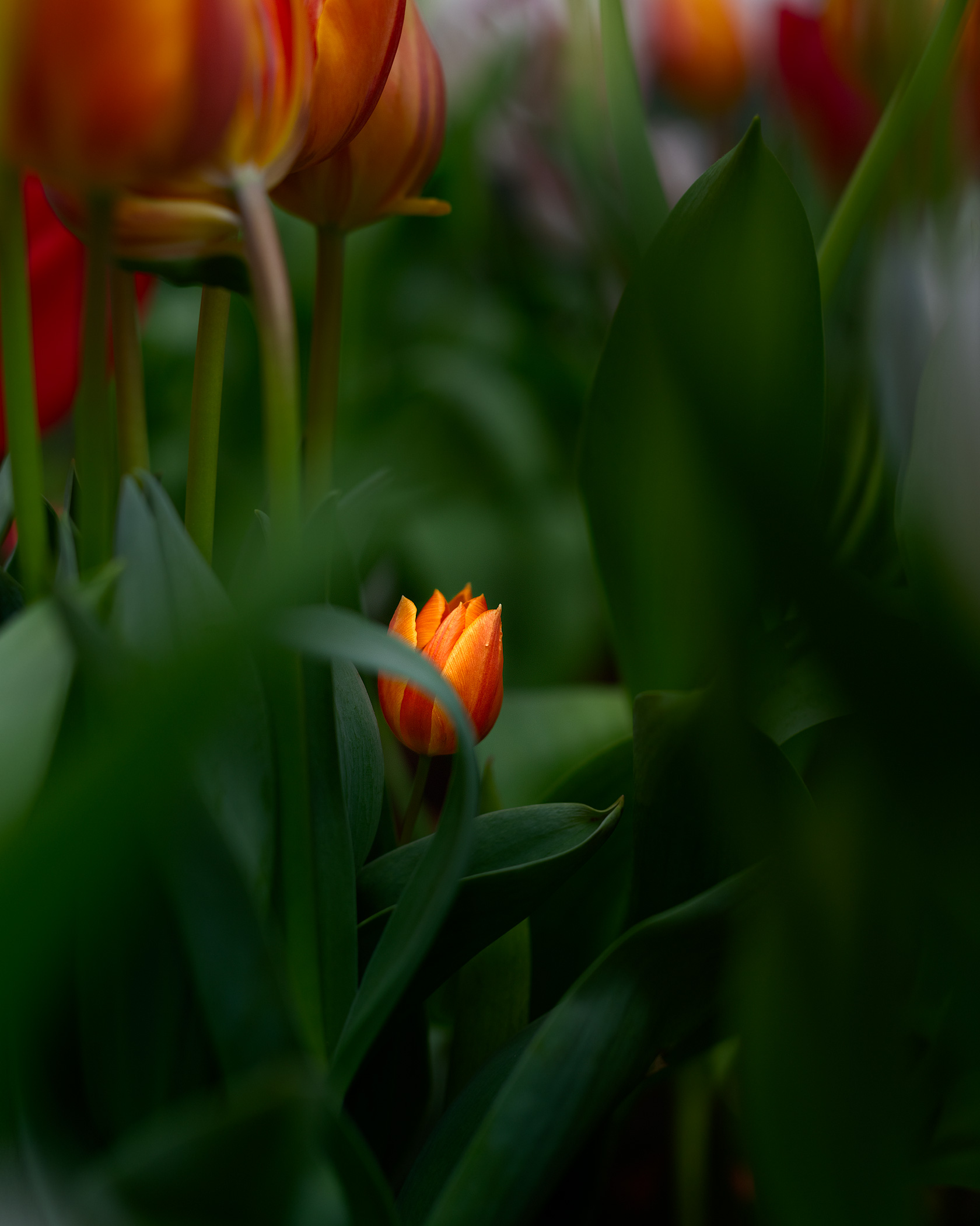 Tulip Jungle 2838